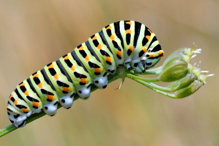 Caterpillar of swallowtail Stock Photo - 4329754