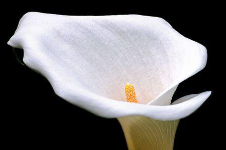fleur arum: Closeup arum fleur sur fond noir