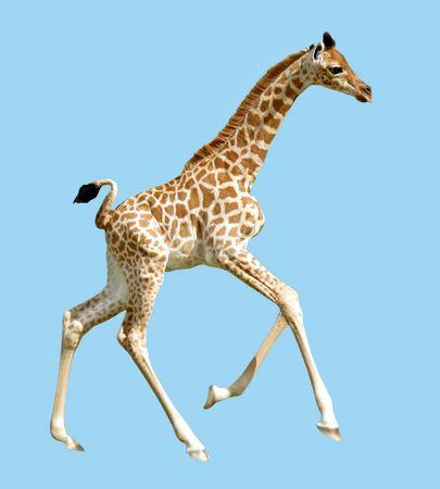 camelopardalis: Isolated baby giraffe running