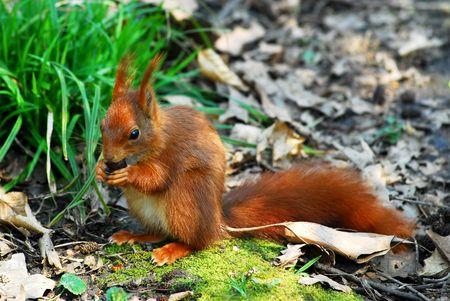 Red squirrel (Sciurus vulgaris) eating a hazelnut photo