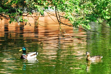 Pair Mallard ducks (Anas platyrhynchos) on the water photo