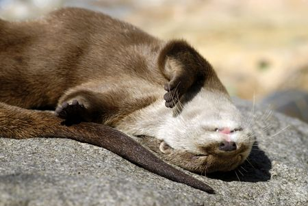 aonyx: Closeup small-clawed otter (Aonyx cinerea) sleeping on rock Stock Photo
