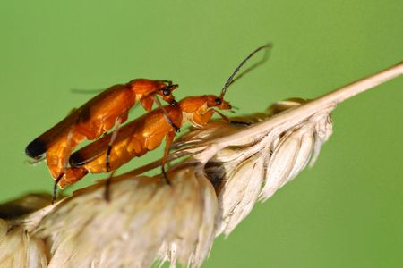 coitus: Macro mating red soldier beetle (rhagonicha fulva ) on grass on the green sky background