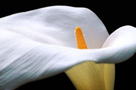 arum: Closeup Arum calla lily flower ((Zantedeschia aethiopica) on black background