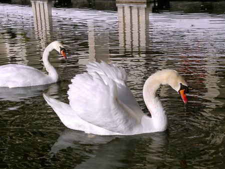 Closeup of two profile mute swans (Cygnus olor) on water with reflection Stock Photo - 4873083