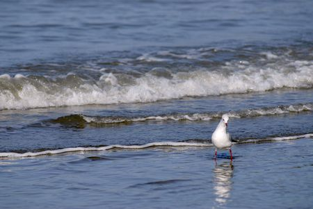 larus: Black-headed Gull (Larus ridibundus) in the blue sea