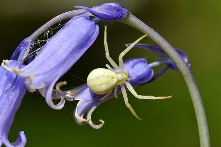 goldenrod spider: Macro di giallo granseole Goldenrod (Misumena vatia) il fiore blu Bluebell comune (Hyacinthoides)