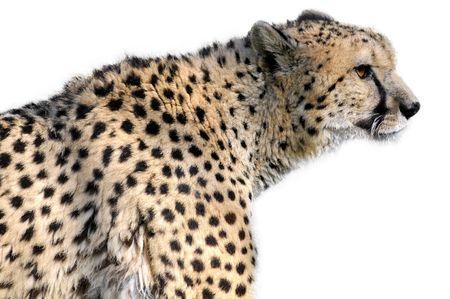 acinonyx jubatus: Isolated profile portrait of African Cheetah (Acinonyx jubatus) on white background