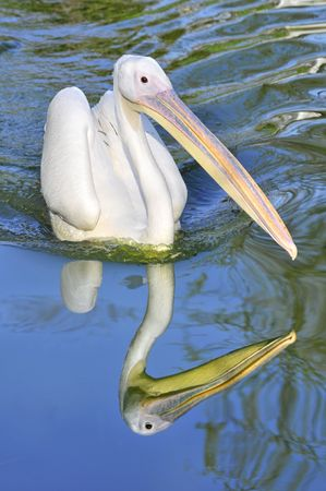 palmate: Closeup of front white pelican (Pelecanus onocrotalus) swimming with reflection in the water