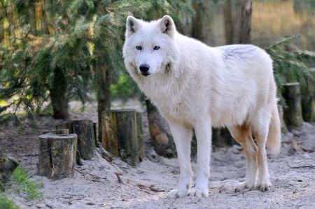 arctos: Closeup di bianco Arctic Wolf (Canis lupus arctos) in piedi sulla sabbia nella foresta
