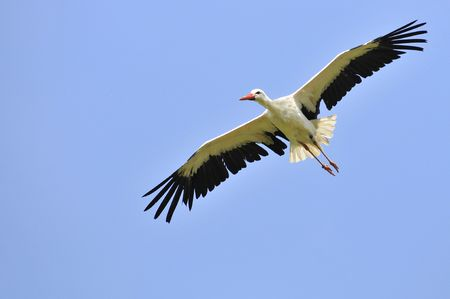 wing span: White stork (Ciconia ciconia) in flight view from below on blue sky background