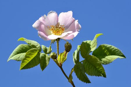 Closeup Dog rose (Rosa canina) flower on blue sky background photo
