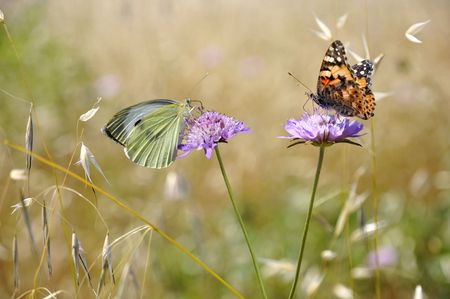 Large white butterfly (Pieris brassicae) and painted lady butterfly (Vanessa cardui) feeding on mauve scabiosa flowers photo
