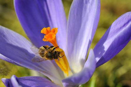 Closeup honey bee (Apis) feeding on blue crocus flower Stock Photo - 6432679