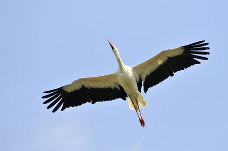 spread legs: White stork (Ciconia ciconia) in flight view from below on blue sky background