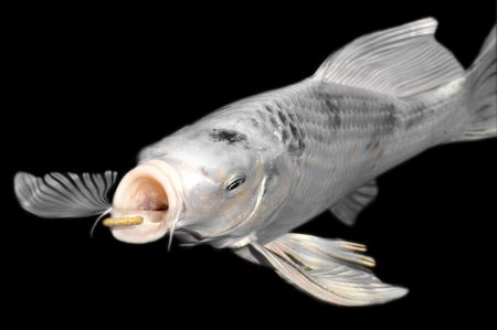 cyprinidae: Closeup white carp koi (Cyprinus) feeding on black background Stock Photo