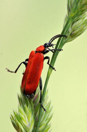 Macro female Cardinal beetle (Pyrochroa coccinea) on grass photo