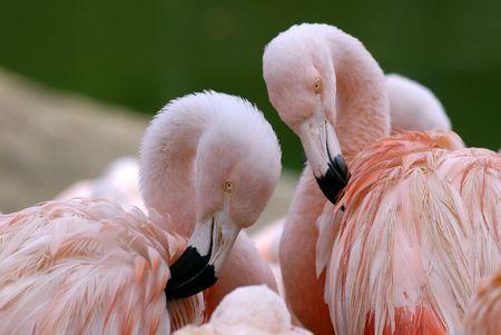 phoenicopterus: Closeup Chilensis flamingos (phoenicopterus) doing their toilet Stock Photo