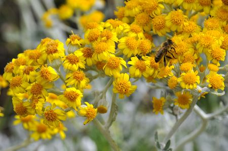 senecio: Closeup honey bee (Apis) feeding on yellow dusty miller flower (Senecio cineraria) Stock Photo