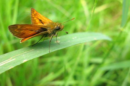 ochlodes: Brown large skipper butterfly (Ochlodes venatus) on leaf Stock Photo