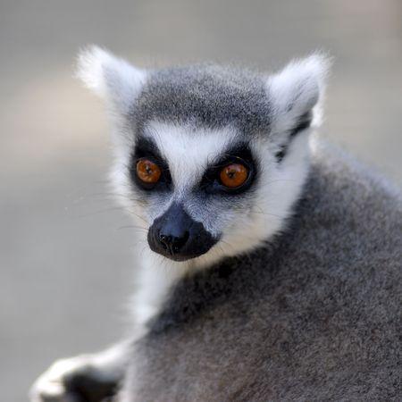 catta: Portrait ring-tailed Lemur (Lemur catta)