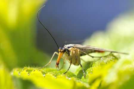 Macro of scorpionfly (Panorpa communis) on leaf face view photo