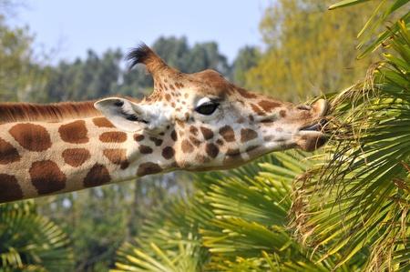 Retrato de perfil de jirafa (Giraffa camelopardalis) comer hojas  Foto de archivo - 8381608