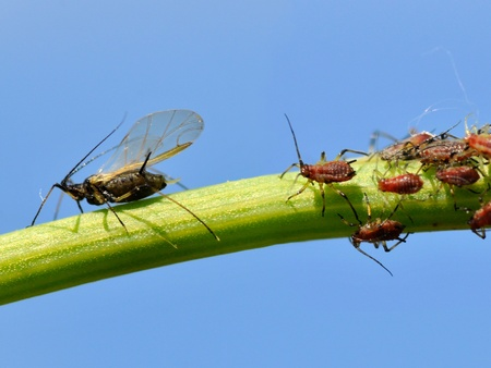 gnat: Macro of gnat and aphids on stem on blue sky background
