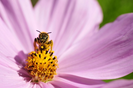 hymenoptera: Hymenoptera of genus bee front view on the heart of pink cosmos flower Stock Photo