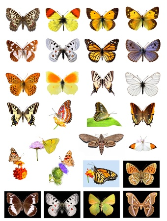 lepidoptera: Lots of different multicolored butterflies on white and black background Stock Photo