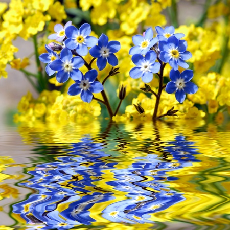 deformation: Closeup blue Forget-me-not (myosotis) above water with reflection, digital effect