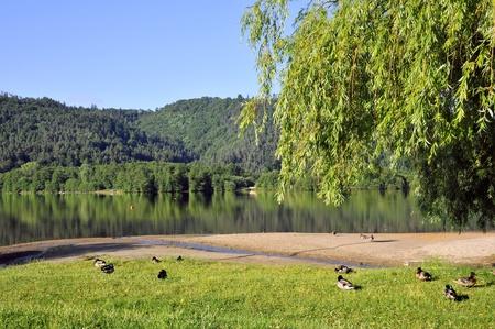 Lac Chambon en France avec le Canard colvert Canards sur herbe en avant-plan, département du Puy de Dôme dans le Massif Central Banque d'images - 8884424