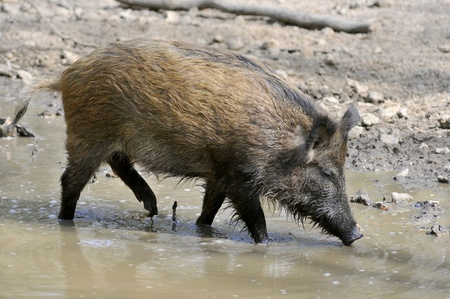 Closeup wild boar (Sus scrofa) in water view of profile