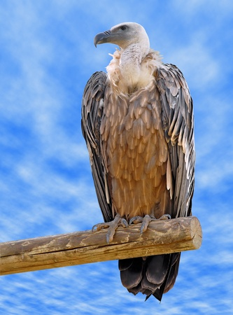fulvus: Griffon vulture (Gyps fulvus) on branch on cloudy blue sky background