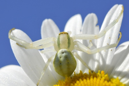 Macro of crab spider (Misumena vatia) on petal daisy flower on blue sky background  photo