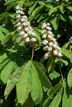 buckeye flower: Closeup of two white flowers of buckeye (Aesculus hippocastanum) among the leaves