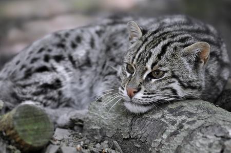 prionailurus: Portrait of  profile fishing cat (Prionailurus viverrinus) lying down, the head on a log