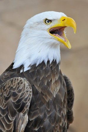 Portrait of bald eagle (Haliaeetus leucocephalus) uttering a cry