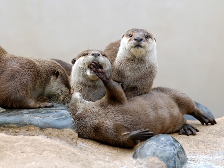 aonyx cinerea: Closeup group small-clawed otter (Aonyx cinerea) on rocks