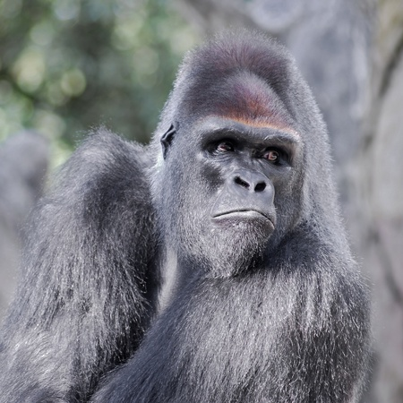 Front portrait of gorilla looking on the side Stock Photo - 9037200