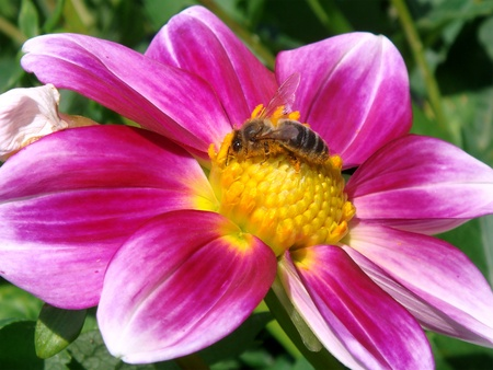 Closeup honey bee (Apis) feeding on purple and yellow dahlia flower                                photo