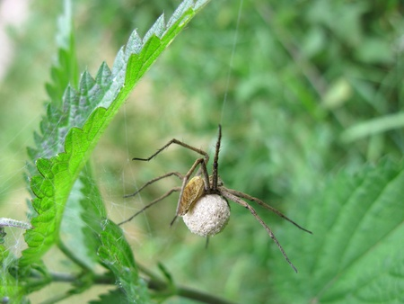 Macro spider (Pisaura mirabilis) on its white spheric cocoon photo
