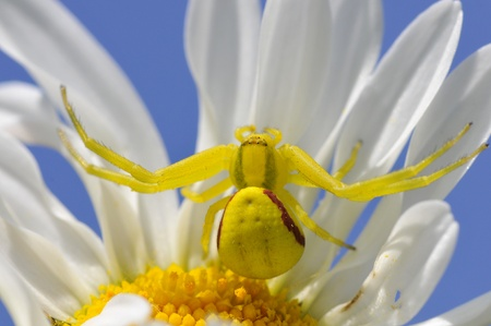 Macro of yellow crab spider (Misumena vatia) on petal daisy flower on blue sky background photo