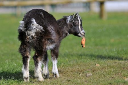 capra: Young brown goat (Capra aegagrus) eating carrot on grass