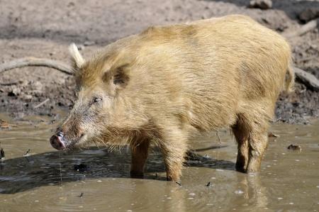 Closeup wild boar (Sus scrofa) light in color in water view of profile photo