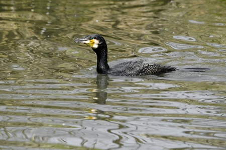 carbo: Great Cormorant (Phalacrocorax carbo) swimming on water Stock Photo