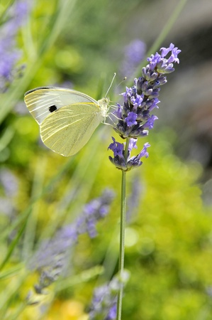 Large white butterfly (Pieris brassicae) feeding on lavender blue flower photo