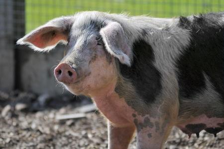 scrofa: Closeup black and white sow (Sus scrofa) Stock Photo