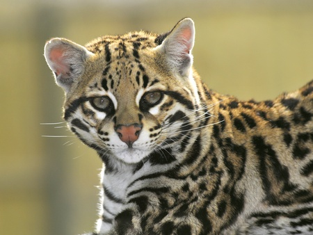 Portrait of Ocelot view of face Imagens