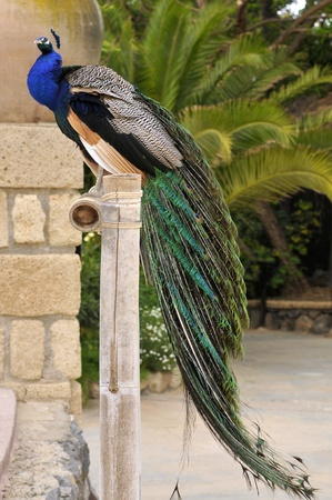phasianidae: Male Indian Peafowl (Pavo cristatus) seen of profile on perch